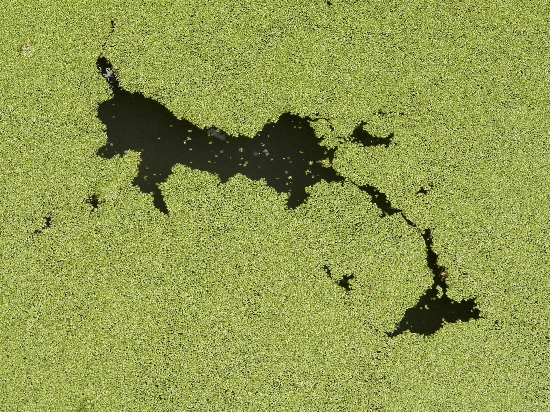 algae-112356_1920