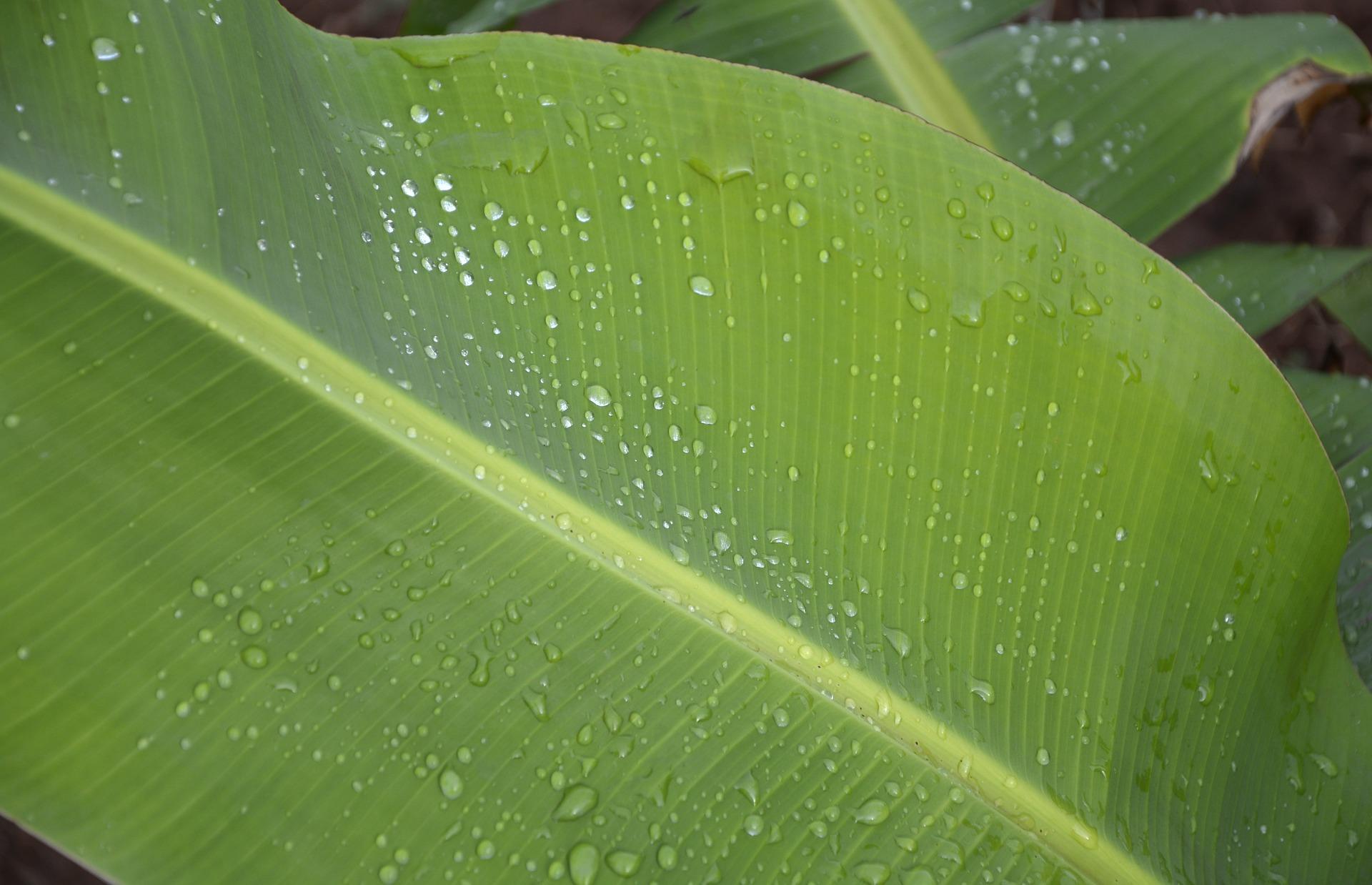 banana-leaf-544208_1920