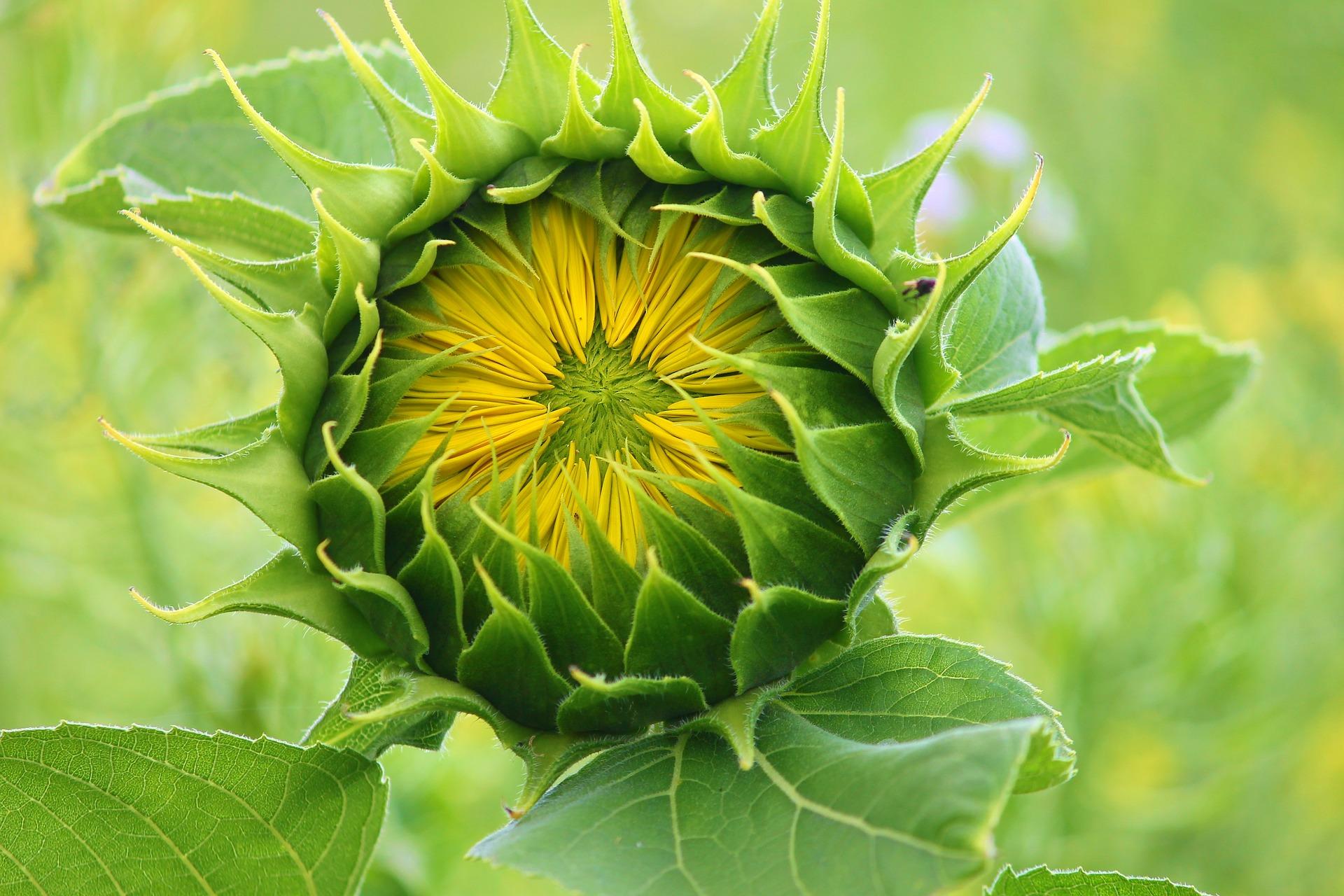 sunflower-3536155_1920