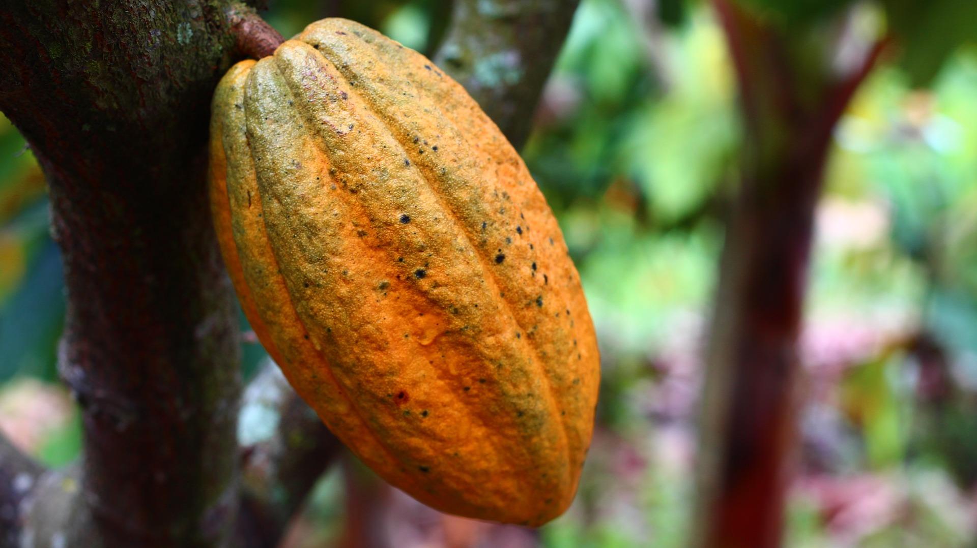 cocoa-1529746_1920
