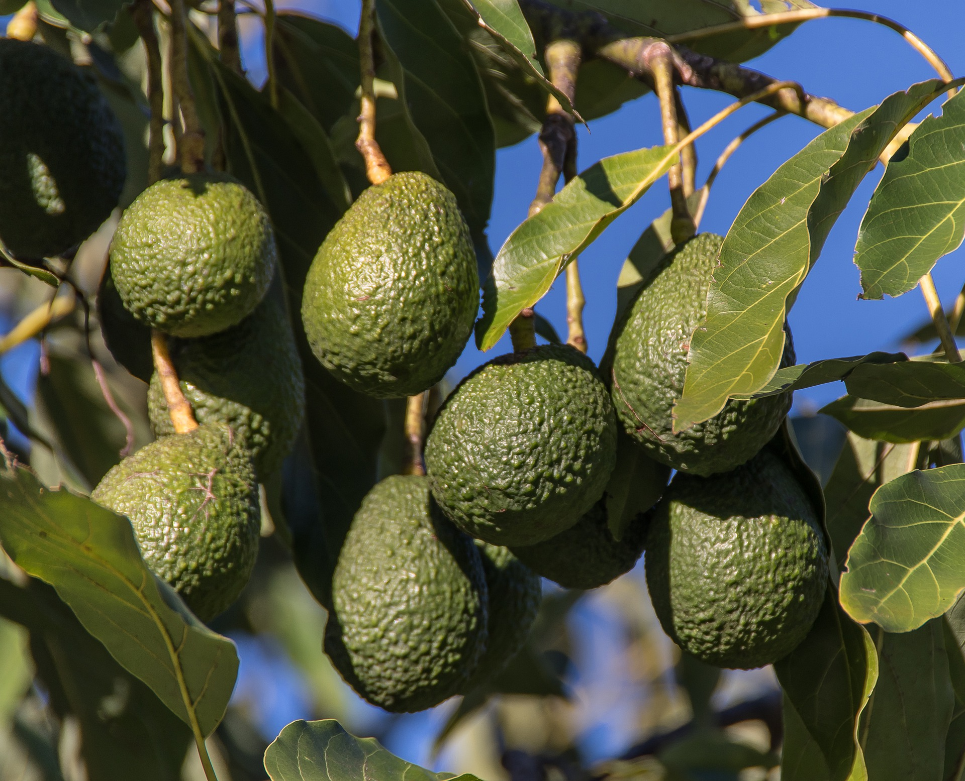 hass-avocados-4436393_1920
