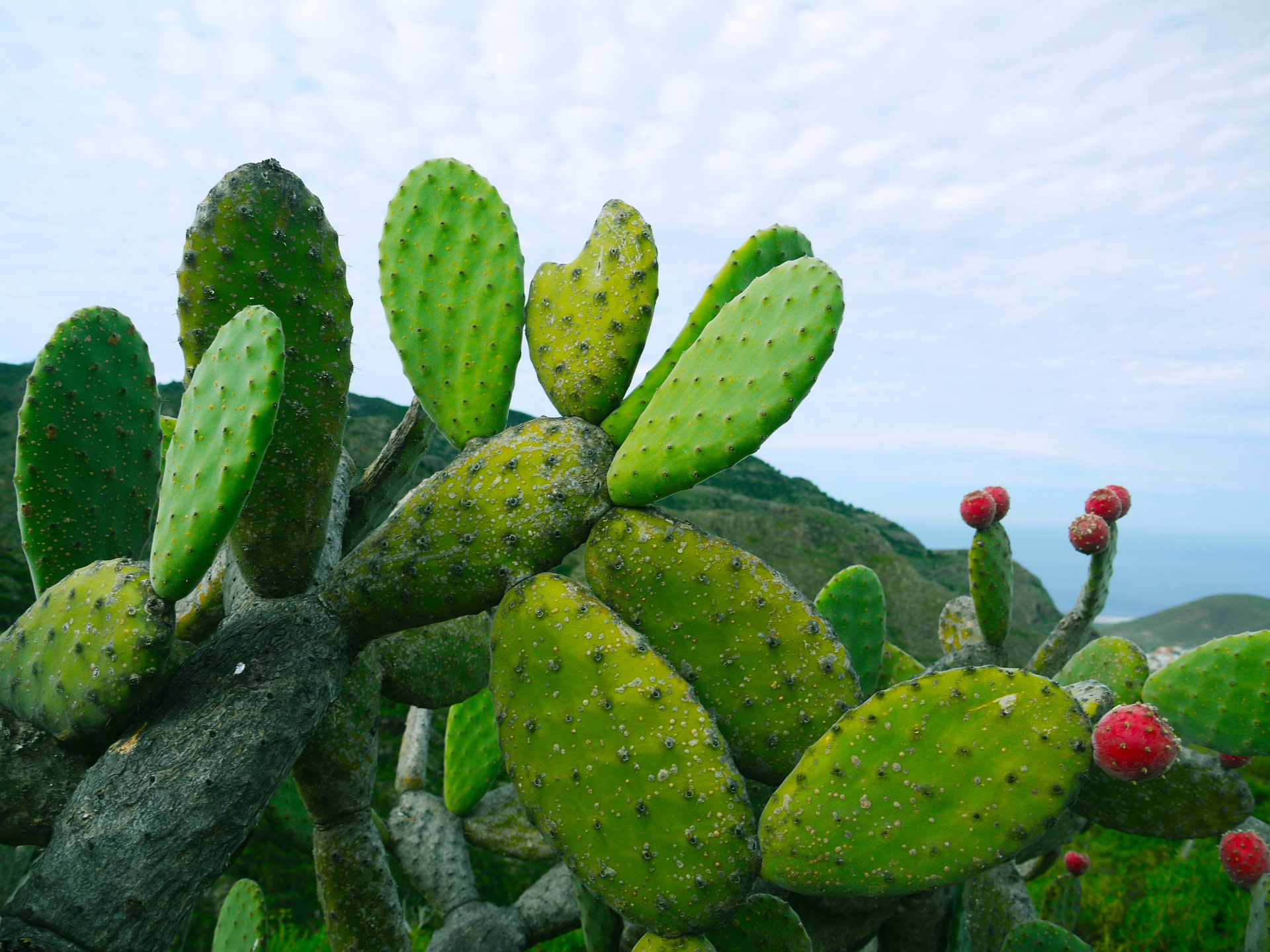 prickly-pear-1501307_1920