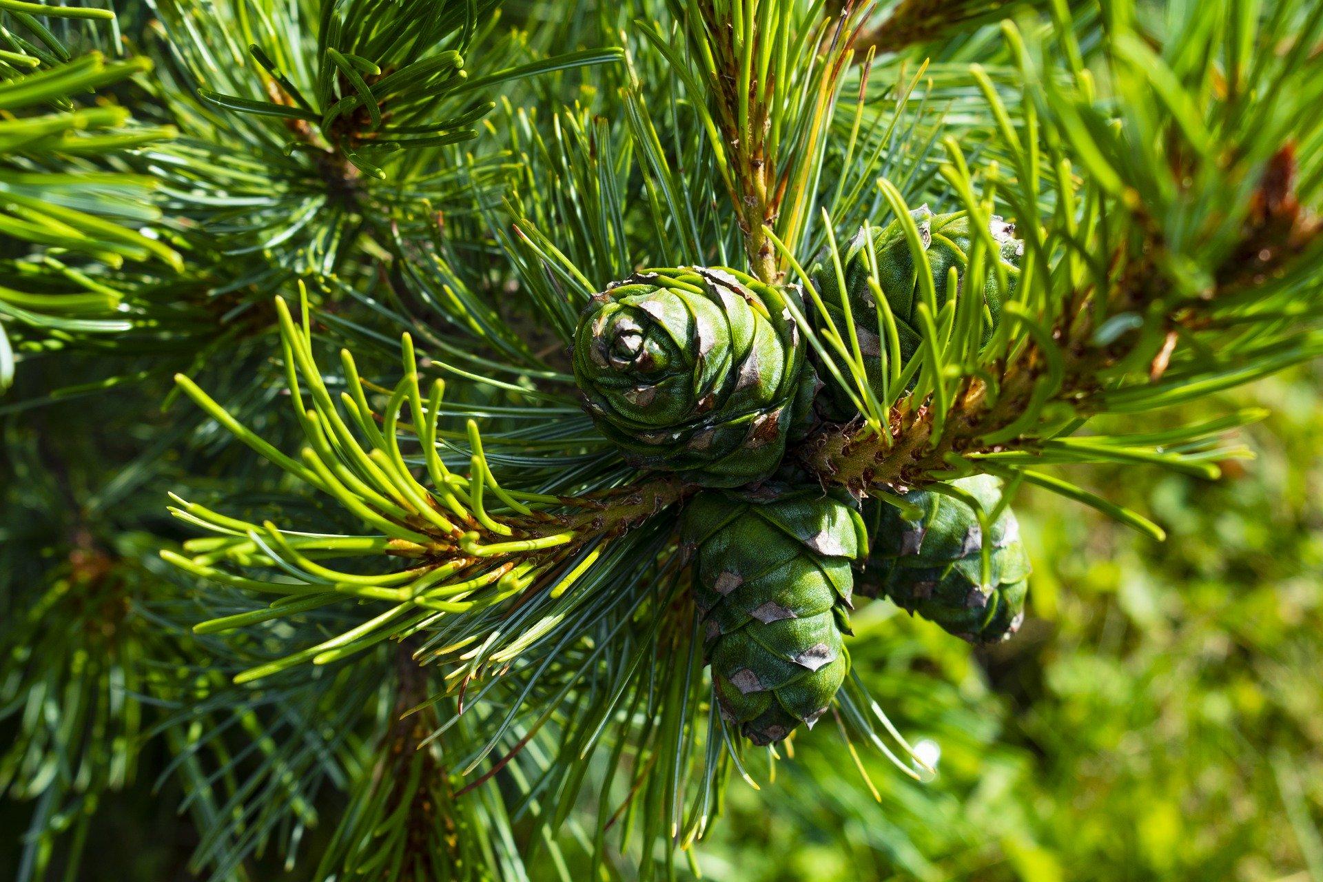 pine-cone-4454765_1920